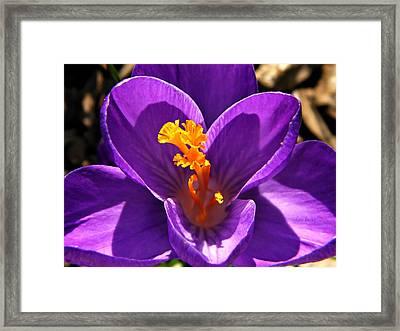 Purple Crocus Detail Framed Print by Chris Berry