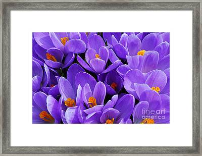 Purple Crocus Framed Print by Elena Elisseeva
