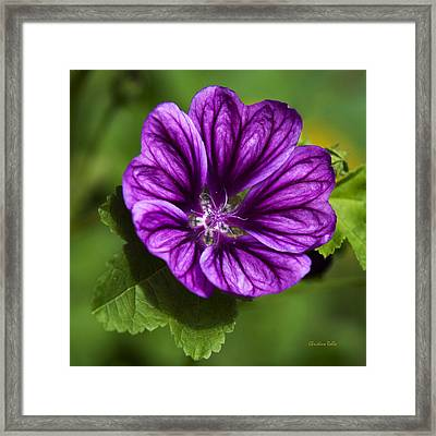 Purple Flower Hollyhock Framed Print by Christina Rollo