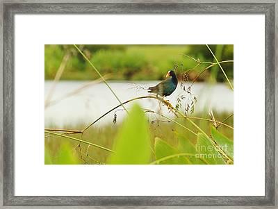 Purple Gallinule Perched Framed Print by Lynda Dawson-Youngclaus