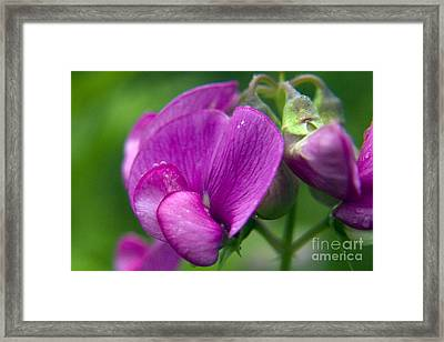 Purple Garden Flower Framed Print by Darleen Stry