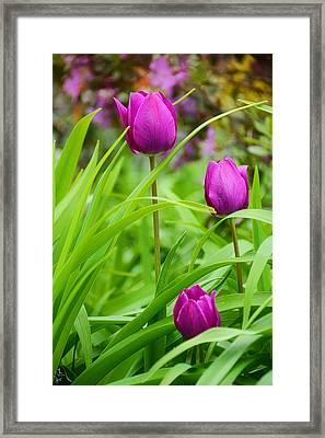 Purple Gems- Purple Tulips Rhode Island Tulips Purple Flower Framed Print by Lourry Legarde