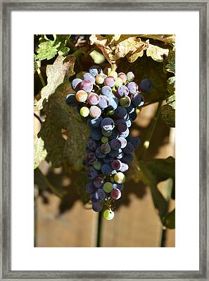Purple Grapes Framed Print by Holly Blunkall