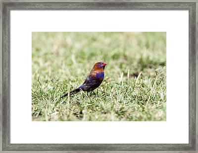 Purple Grenadie Framed Print by Photostock-israel