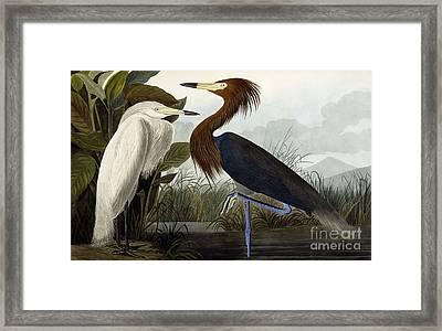 Purple Heron Framed Print by John James Audubon