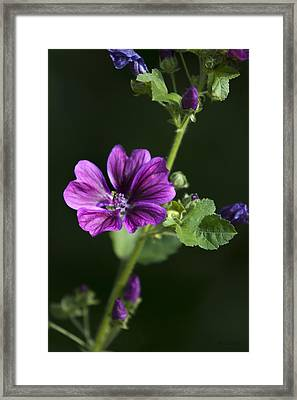 Purple Hollyhock Flowers Framed Print by Christina Rollo