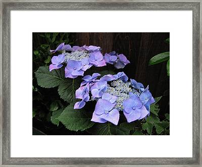 Purple Lacecap Hydrangea Framed Print by Suzanne Gaff