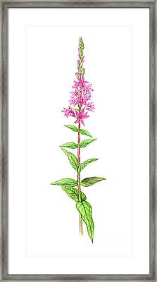 Purple Loosestrife Framed Print by Carlyn Iverson