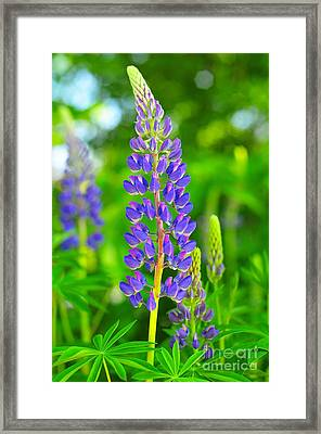 Purple Lupine Framed Print by Catherine Reusch  Daley
