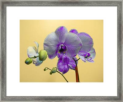 Purple Orchid Framed Print by Christy Usilton