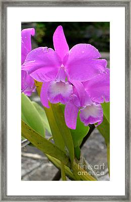 Purple Orchid Framed Print by Mukta Gupta