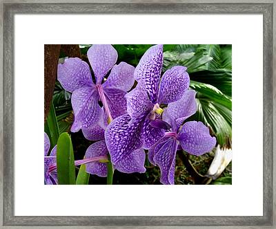 Purple Orchids Framed Print by Carey Chen