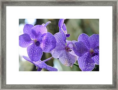 Purple Orchids Framed Print by Kathleen Struckle