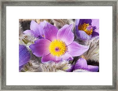 Purple Pasque Flower In Spring Framed Print by Matthias Hauser