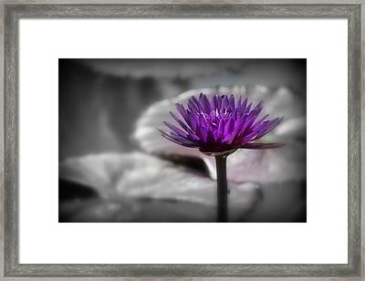 Purple Pond Lily Framed Print by Lynn Sprowl