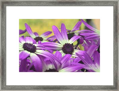 Purple Senetti IIi Framed Print by Cate Schafer