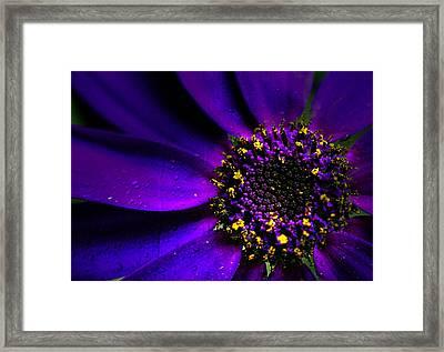 Purple Senetti In Macro Framed Print by Rosanna Zavanaiu