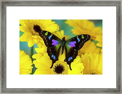 Purple Spotted Swallowtail Butterfly Framed Print by Darrell Gulin