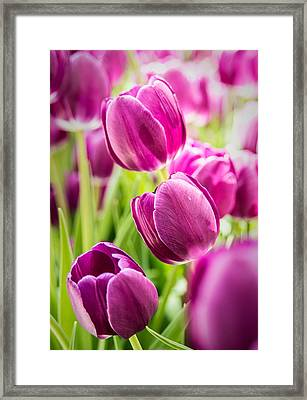 Purple Tulip Garden Framed Print by  Onyonet  Photo Studios