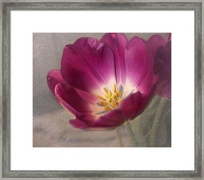 Purple Tulip Framed Print by Kim Hojnacki