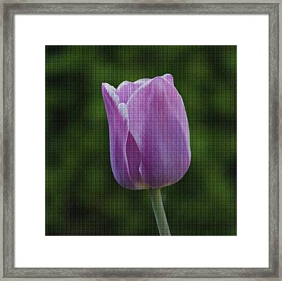 Purple Tulip Framed Print by Sandy Keeton