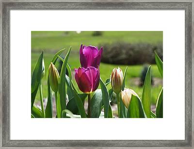 Purple Tulips Garden Art Print Tulip Flowers Framed Print by Baslee Troutman