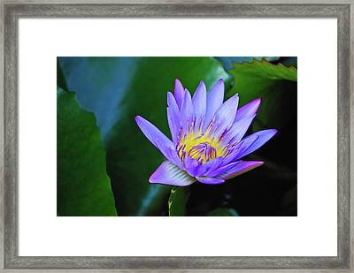 Purple Water Lily Framed Print by Christi Kraft