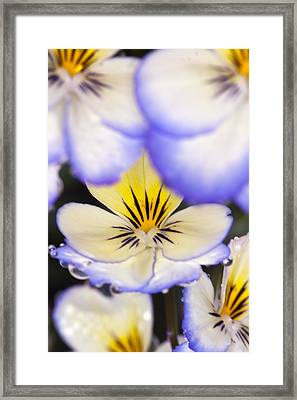 Purple White And Yellow Johnny-jump-ups Framed Print by RM Vera
