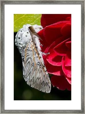 Puss Moth On Red Camellia Framed Print by Mr Bennett Kent