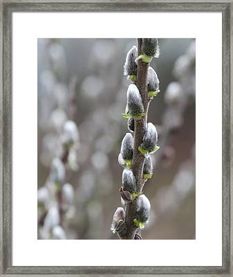 Pussy Willow Framed Print by Angie Vogel