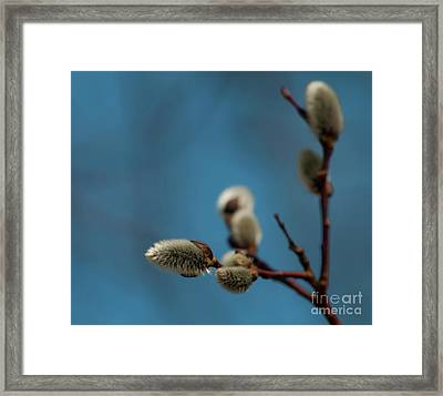 Pussy Willow... Framed Print by Nina Stavlund