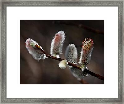 Pussy Willows Framed Print by John Haldane