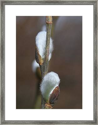 Pussy Willows Framed Print by Paula Tohline Calhoun