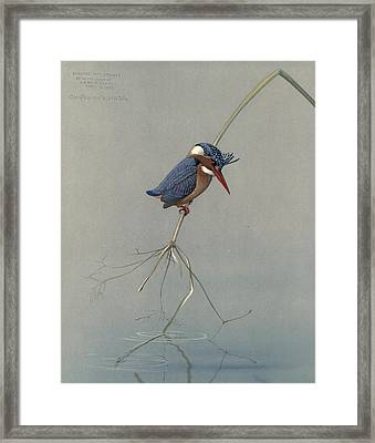 Pygmy Kingfisher Framed Print by Louis Agassiz Fuertes