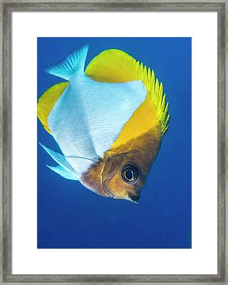Pyramid Butterflyfish On A Reef Framed Print by Louise Murray
