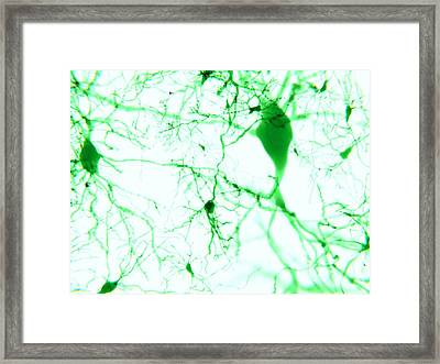Pyramidal Neurons Framed Print by Juan Gaertner