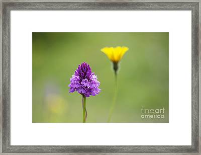 Pyramidal Orchid Framed Print by Tim Gainey