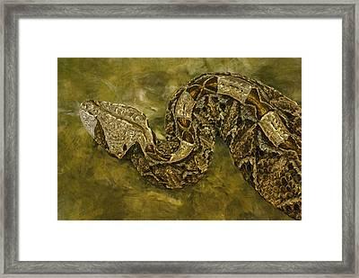 Python Framed Print by Jack Zulli