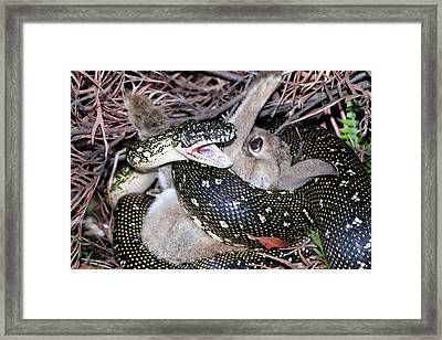 Python Suffocating A Rabbit Framed Print by Gerry Pearce