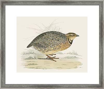 Quail Framed Print by Beverley R Morris