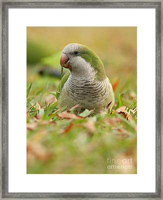 Quaker Parrot #3 Framed Print by David Cutts
