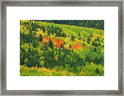 Quaking Aspen In Stages Of Color Framed Print by Maresa Pryor