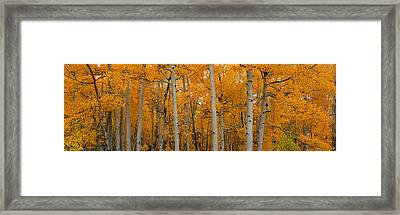 Quaking Aspens Dixie National Forest Ut Framed Print by Panoramic Images