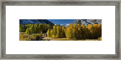 Quaking Aspens Populus Tremuloides Framed Print by Panoramic Images