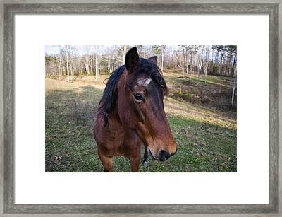 Quarter Horse Close Up Framed Print by Chris Flees
