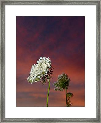 Queen Anne's Lace At Sunset Framed Print by Eric Abernethy