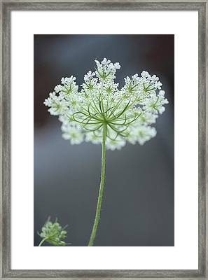 Queen Anne's Lace Bloom Framed Print by Anna Miller