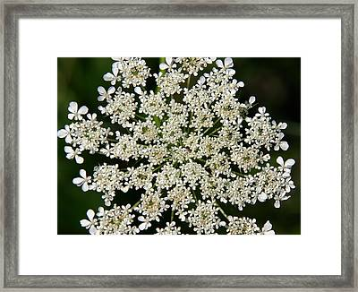 Queen Anne's Lace Framed Print by Denyse Duhaime
