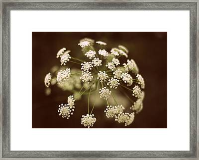 Queen Anne's Lace Framed Print by Jessica Jenney