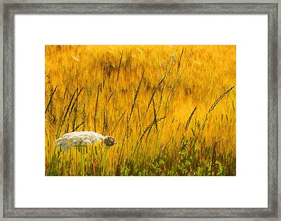 Queen Anne's Lace Framed Print by Theresa Tahara